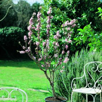 Amandier Garden Prince®