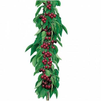 Cerisier colonnaire Shangai®