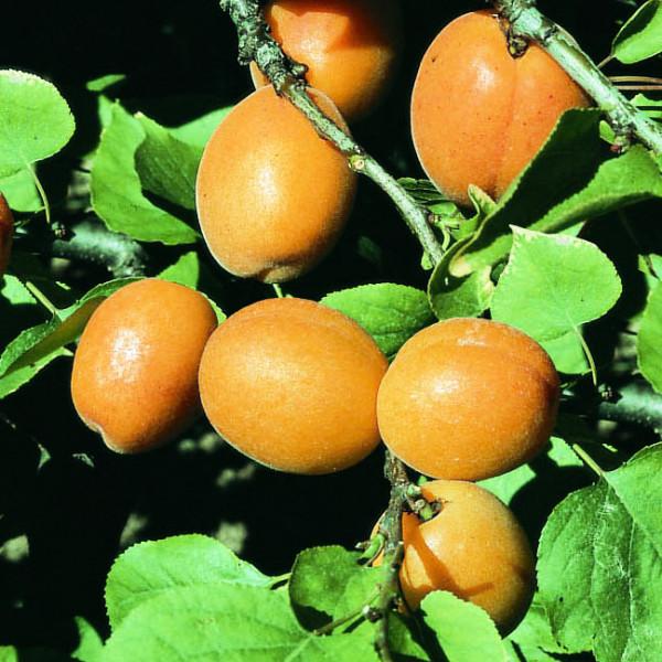 Abricotier Garden Aprigold®