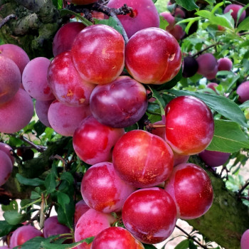 Pluot Pink Candy®