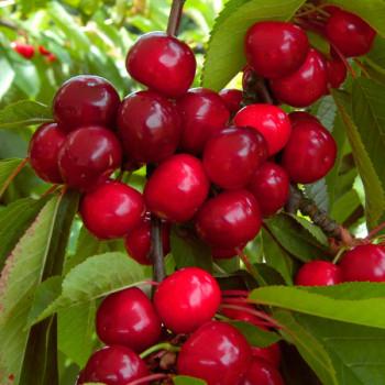 Cerisier Bigalise®