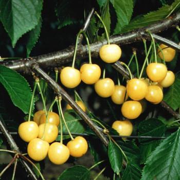 Cerisier Bigarreau Stark Gold