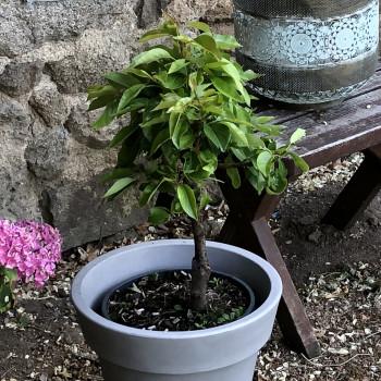 Poirier Garden Pearl®