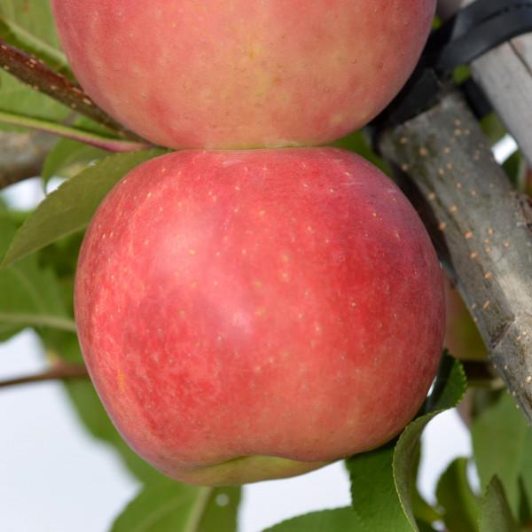 Collection Les pommes d´exception