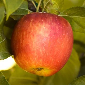 Pommier Pomme des Moissons®