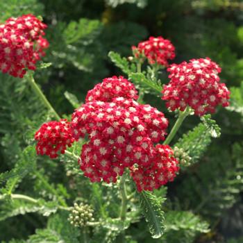 Achillée millefolium ´Braise´