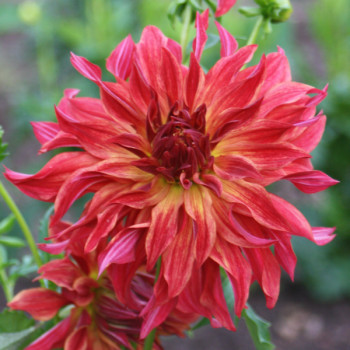 Dahlia Bangkok® - Lot de 2 Bulbes LABEL ROUGE