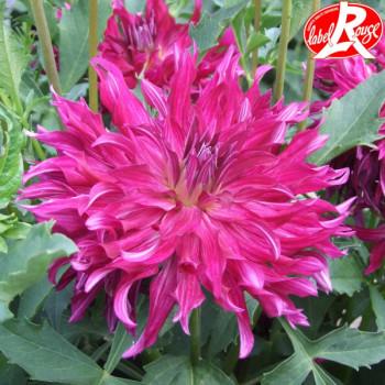 Dahlia Bangkok Violet® - Lot de 2 Bulbes