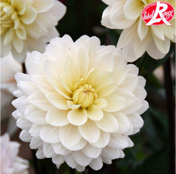 Dahlia Blankass® - Lot de 2 Bulbes