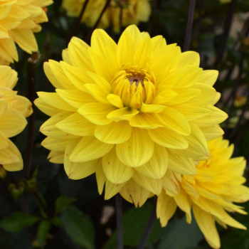 Dahlia Chamade - Lot de 3 Bulbes