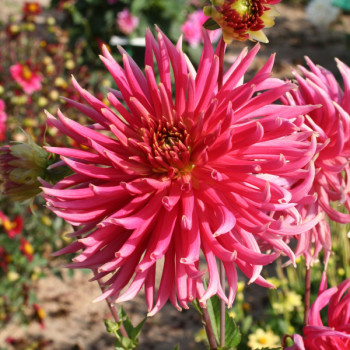 Dahlia Chunhong - Lot de 3 Bulbes