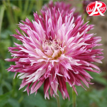 Dahlia Colorama® - Lot de 2 Bulbes
