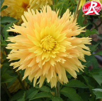 Dahlia Corot - Lot de 2 Bulbes