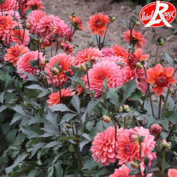 Dahlia nain Domaine de Chaumont sur Loire® Label Rouge