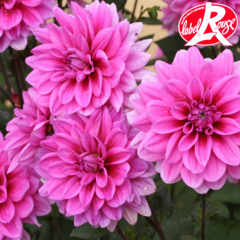 Dahlia Marée Bleu - Lot de 2 Bulbes LABEL ROUGE