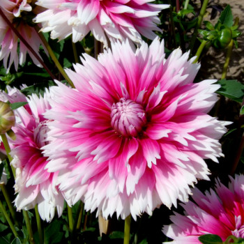 Dahlia Nabuko® - Lot de 3 Bulbes