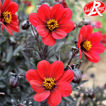 Dahlia nain A La Folie® - Lot de 2 Bulbes LABEL ROUGE