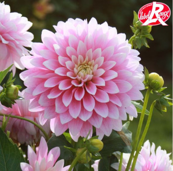 Dahlia nain Bagatelle® - Lot de 3 Bulbes