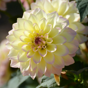 Dahlia nain Cherry Cream