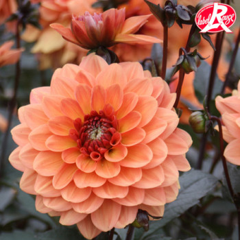 Dahlia nain Clémenvilla - Lot de 2 Bulbes LABEL ROUGE