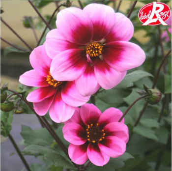 Dahlia nain Emilie - Lot de 2 Bulbes LABEL ROUGE