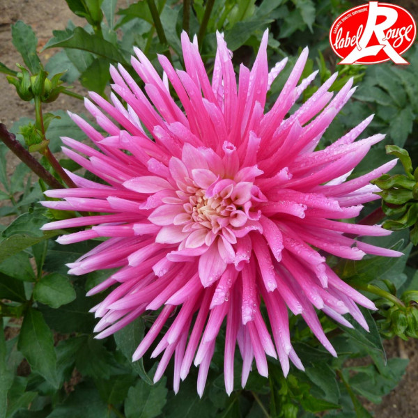 Dahlia nain Harry Bo® - Lot de 2 Bulbes LABEL ROUGE
