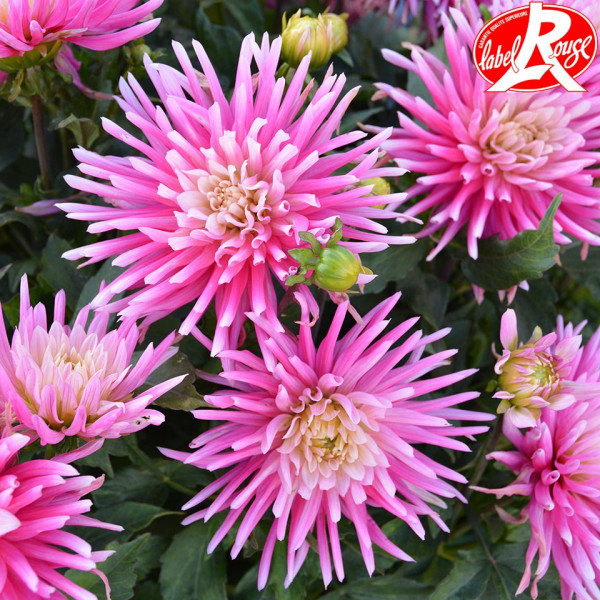 Dahlia nain Harry Bo® Label Rouge