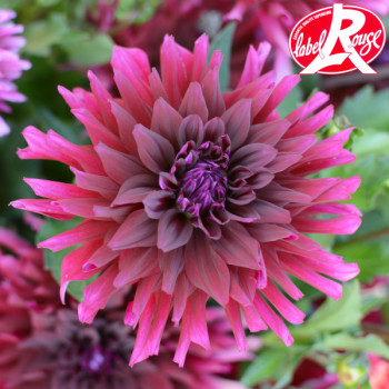 Dahlia nain Mercurey - Lot de 3 Bulbes