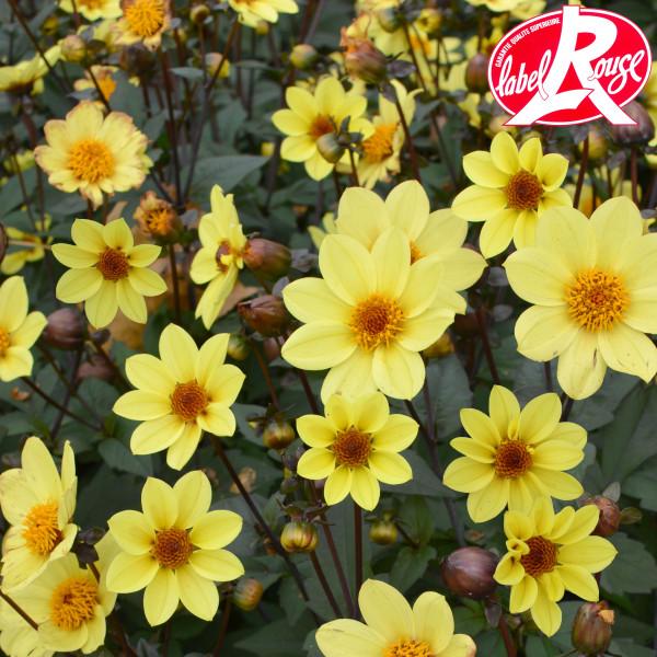 Dahlia nain Pollen - Lot de 2 Bulbes