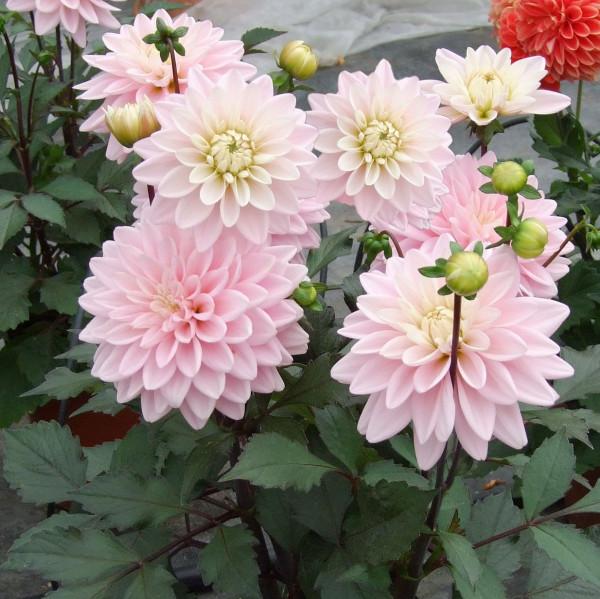 Dahlia nain Rose des Sables® - Lot de 3 Bulbes