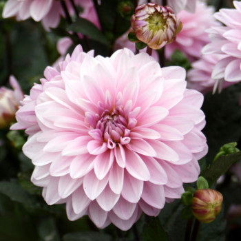 Dahlia nain Rose des Sables® - Lot de 2 Bulbes LABEL ROUGE