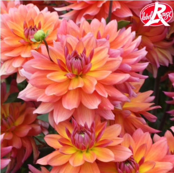 Dahlia nain Tricolor - Lot de 2 Bulbes