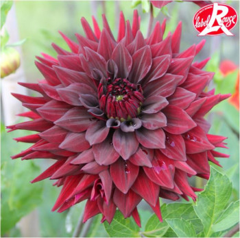 Dahlia Noir Desire® - Lot de 2 Bulbes LABEL ROUGE