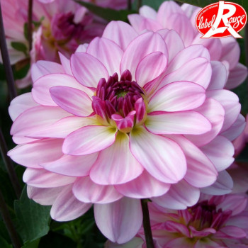 Dahlia Prestance® - Lot de 2 Bulbes