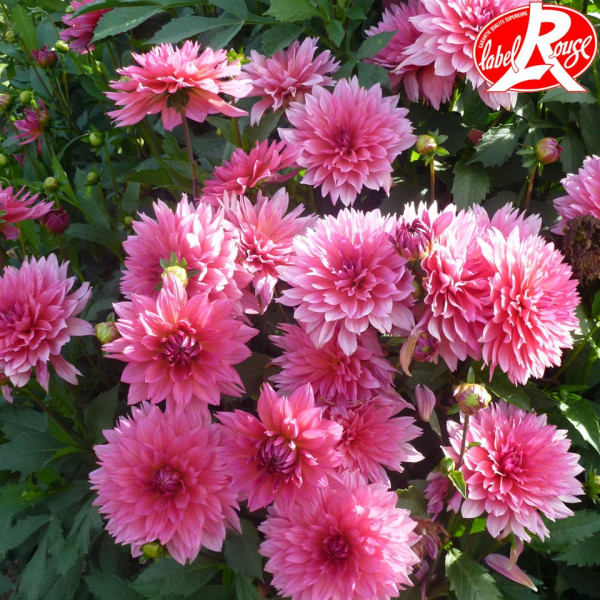 Dahlia Samantha® - Lot de 2 Bulbes LABEL ROUGE