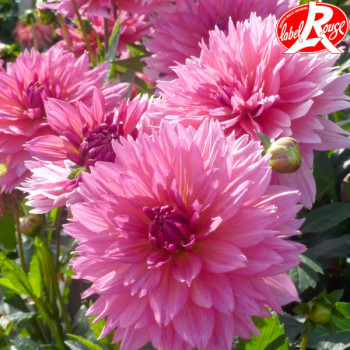 Dahlia Samantha® - Lot de 2 Bulbes
