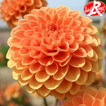 Dahlia Sylvia - Lot de 2 Bulbes