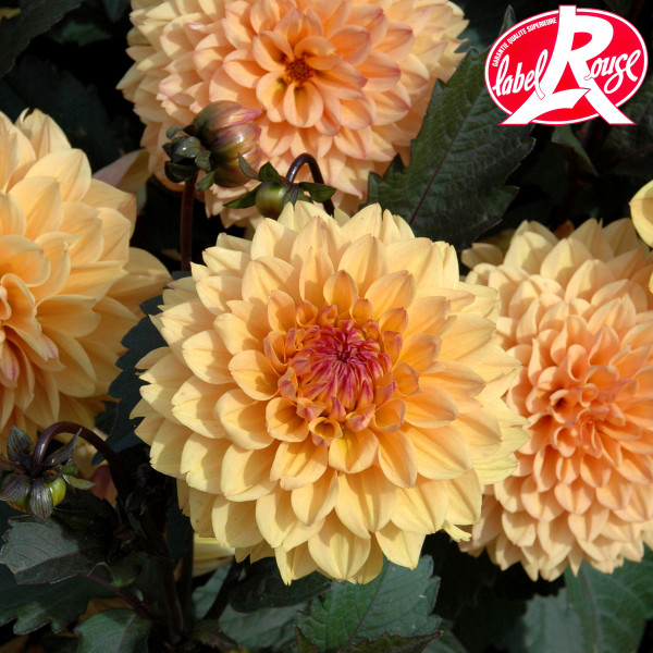 Dahlia Vendée Globe - Lot de 2 Bulbes LABEL ROUGE