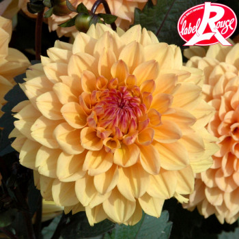 Dahlia nain Vendée Globe Label Rouge