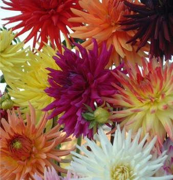 Dahlias Cactus en mélange - Lot de 5 Bulbes