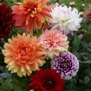 Dahlias décoratifs en mélange - Lot de 5 Bulbes