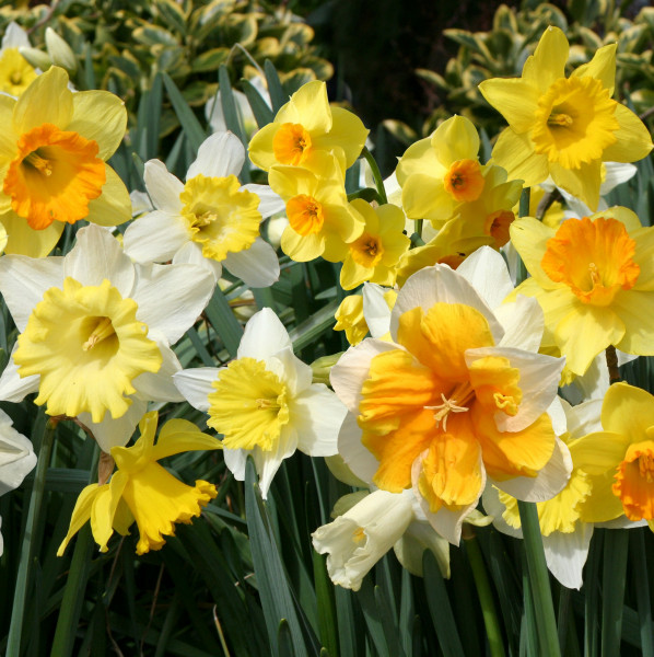 Narcisses tous types en  Mélange - Lot de 25 Bulbes