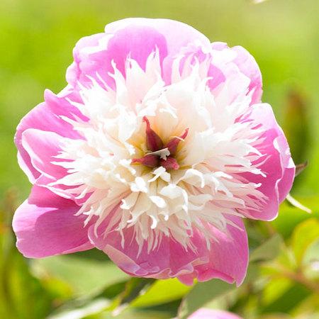 Pivoine de Chine Bowl of Beauty