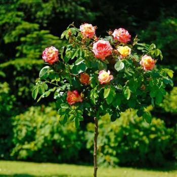 Rosier Camille Pissarro® Le rosier Tige