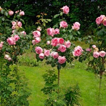 Rosier Comtesse De Ségur® Le rosier tige