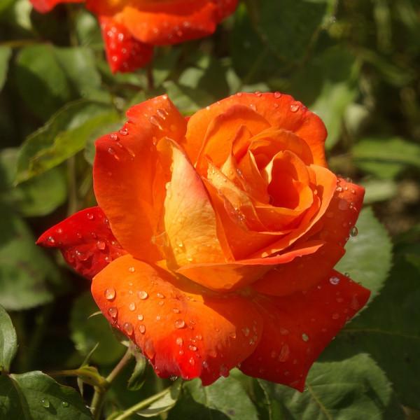 Rosier France Libre® Le rosier Tige