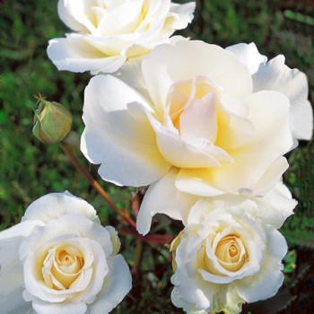 Rosier Grand Nord® Le rosier Tige