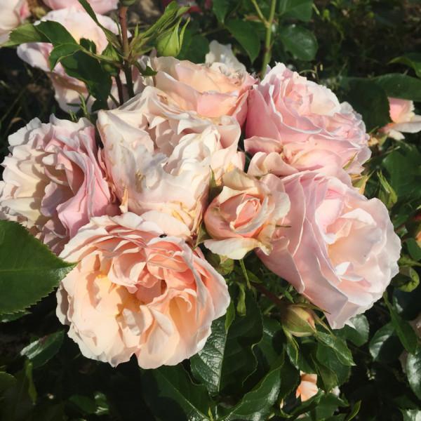 Rosier Jardin des Tuileries® Le rosier Tige