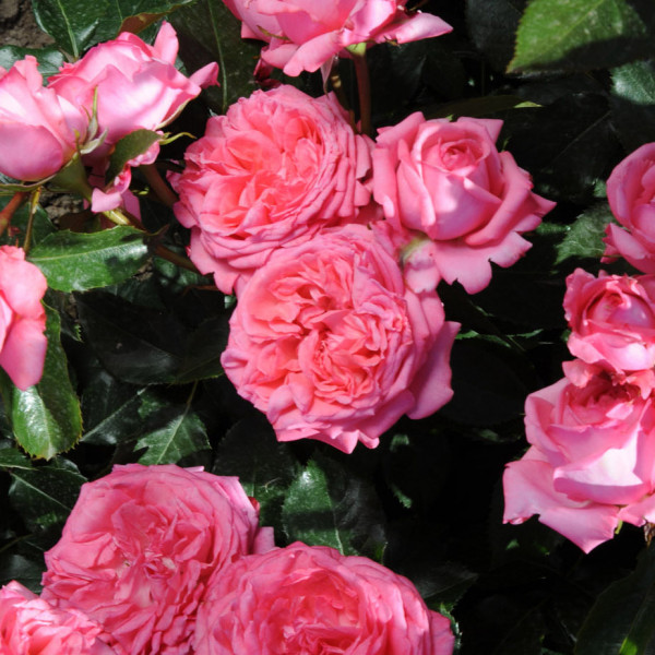 Rosier La Rose de Molinard® LABEL ROUGE