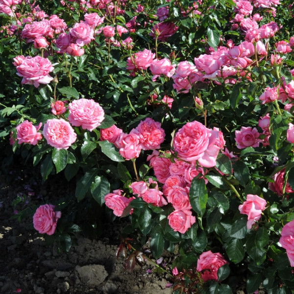 Rosier La Rose de Molinard®